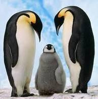 Emperor Penguin - Penguin